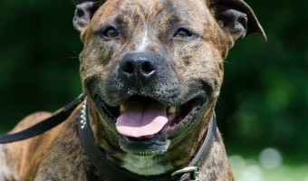 Famous pit bull quotes shed a good light on the breed! Check out these famous faves!