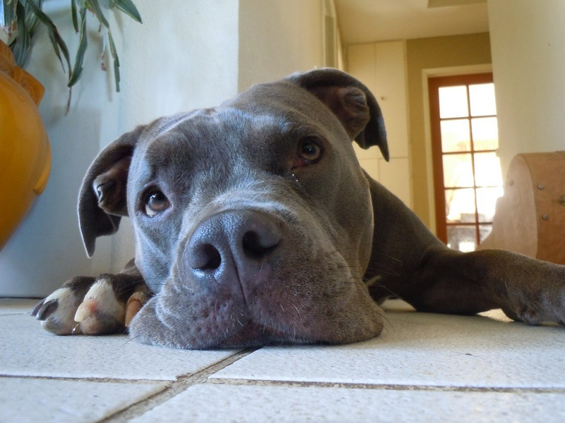 How To Potty Train A Blue Nose Pitbull Dogvills