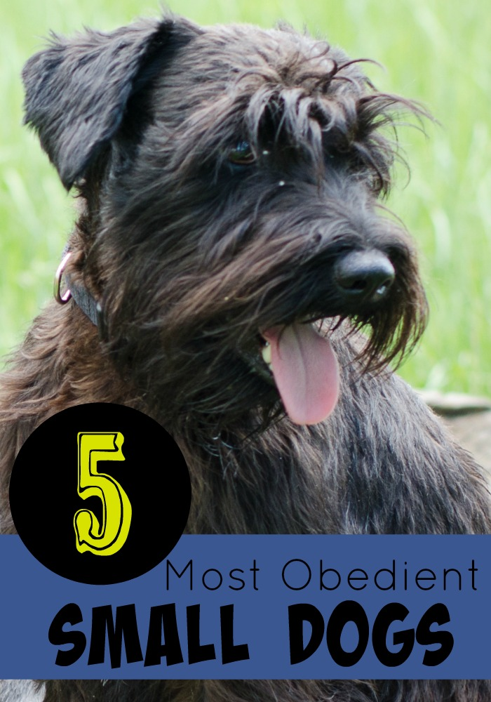 5 Most Obedient Small Dogs