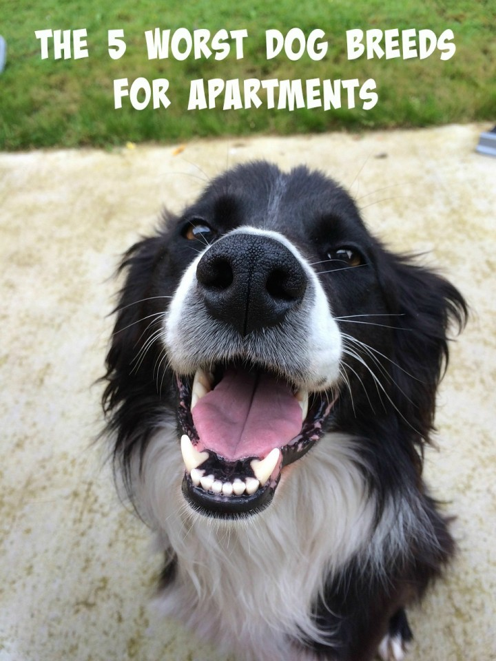 apartment dogs the 5 worst dog breeds for apartments dogvills