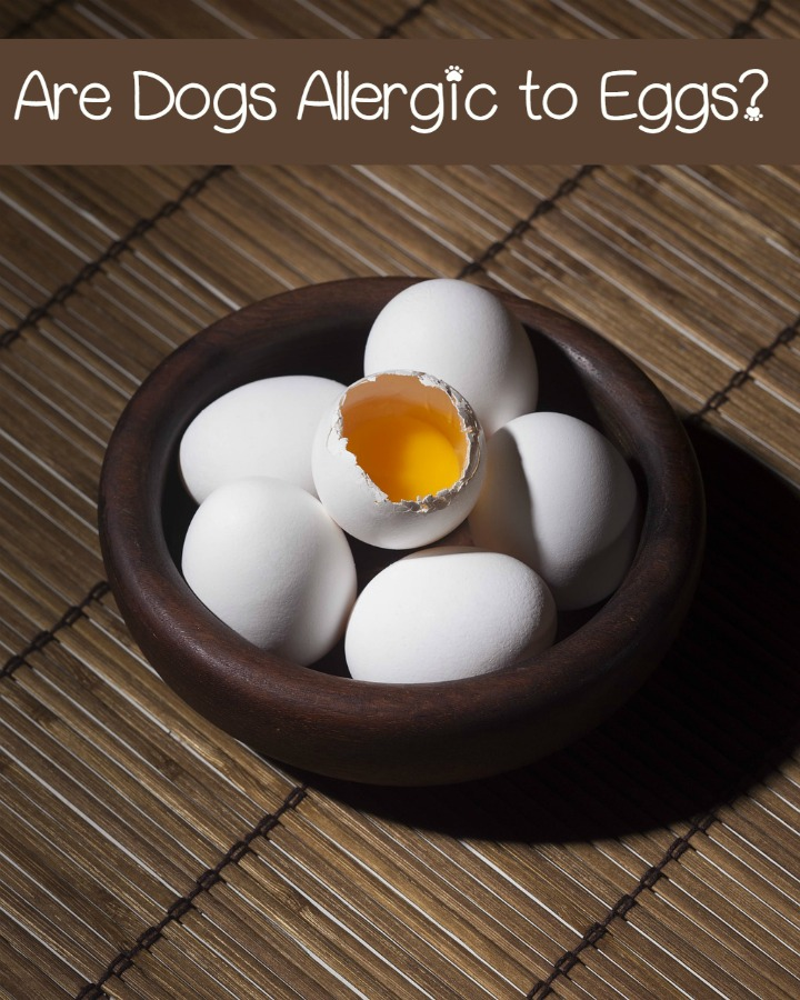 Egg Allergy in Dogs: Just How Common Is It?