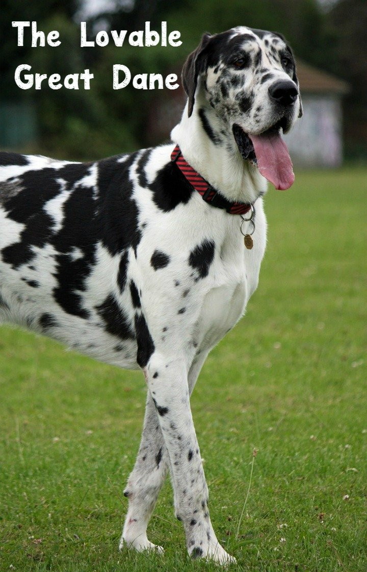 The Great Dane – All About the Lovable Giant