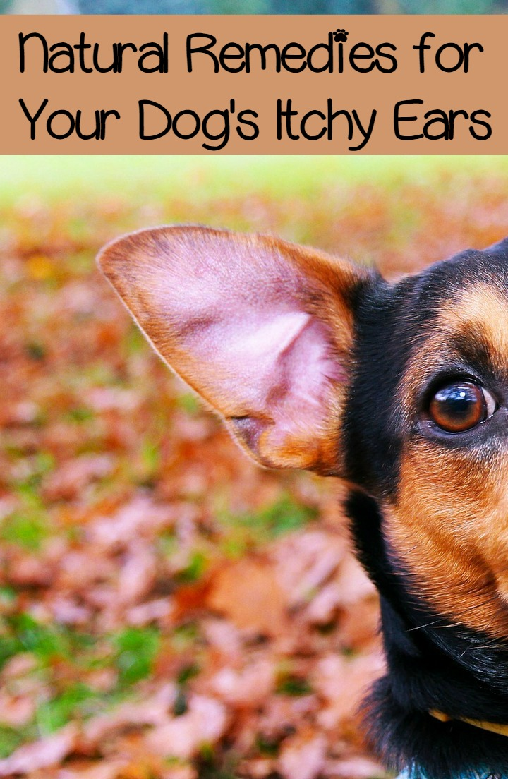 Itchy Ears in Dogs - Natural Approaches to Easing the Itch