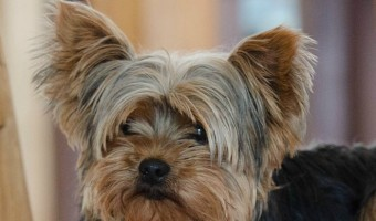 All dogs are smart, we know this, but I have chosen to share with you the 5 most intelligent small dog breeds. Which one is your favorite?