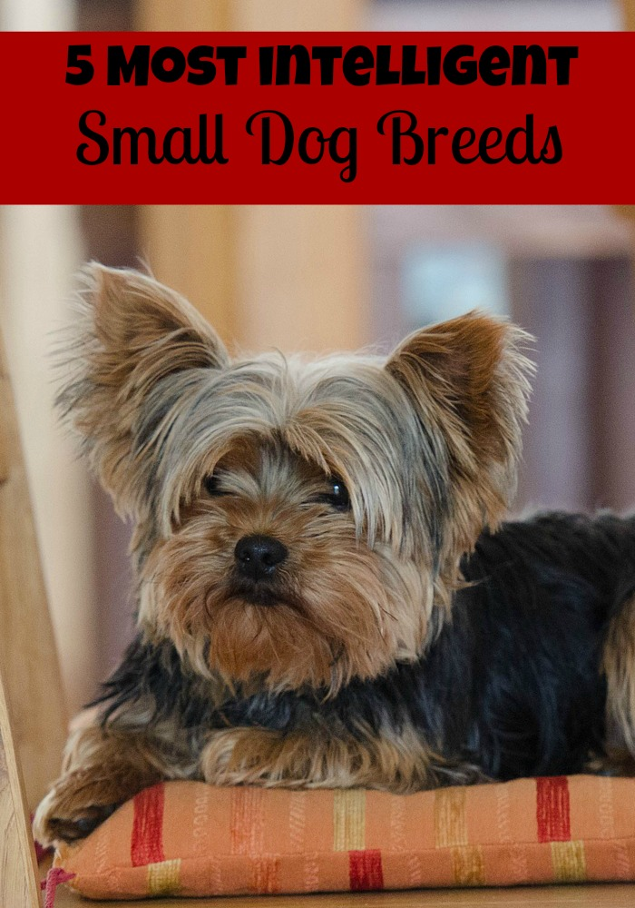 5 Most Intelligent Small Dog Breeds