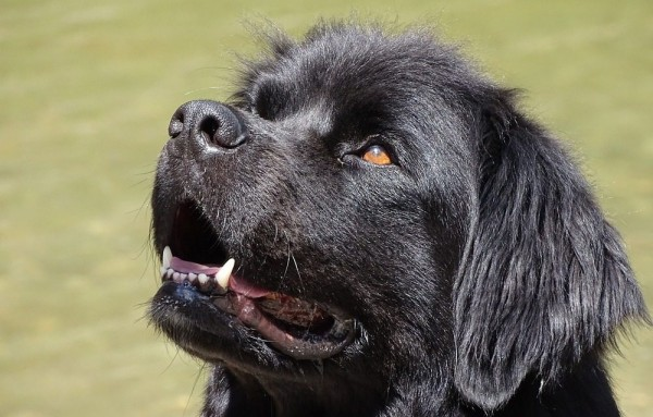 America's Top 50 Favorite Dog Breeds: Newfoundland