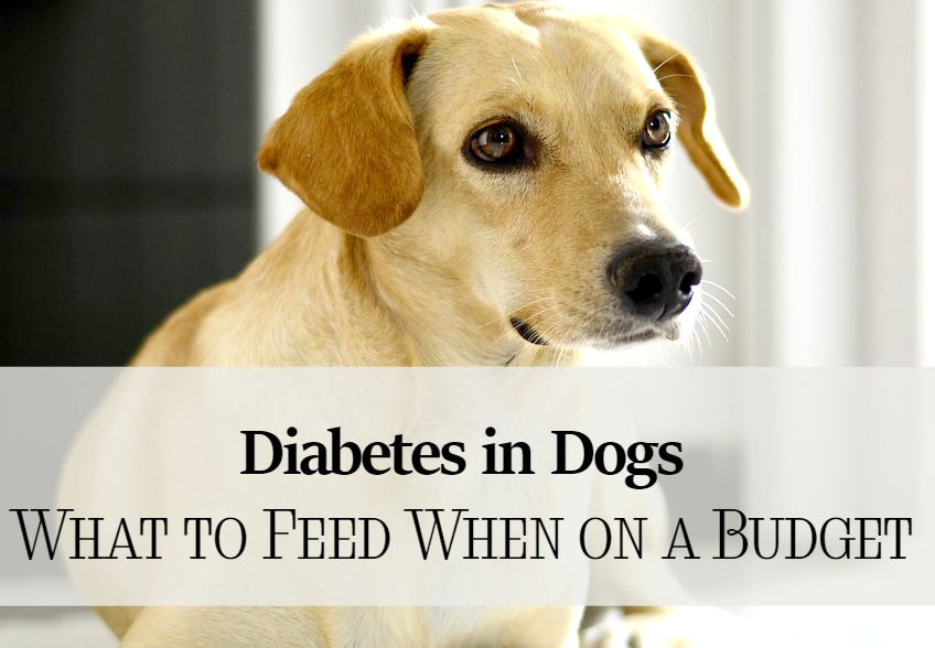 diabetes in dogs what to feed when you 39 re on a budget dogvills. Black Bedroom Furniture Sets. Home Design Ideas