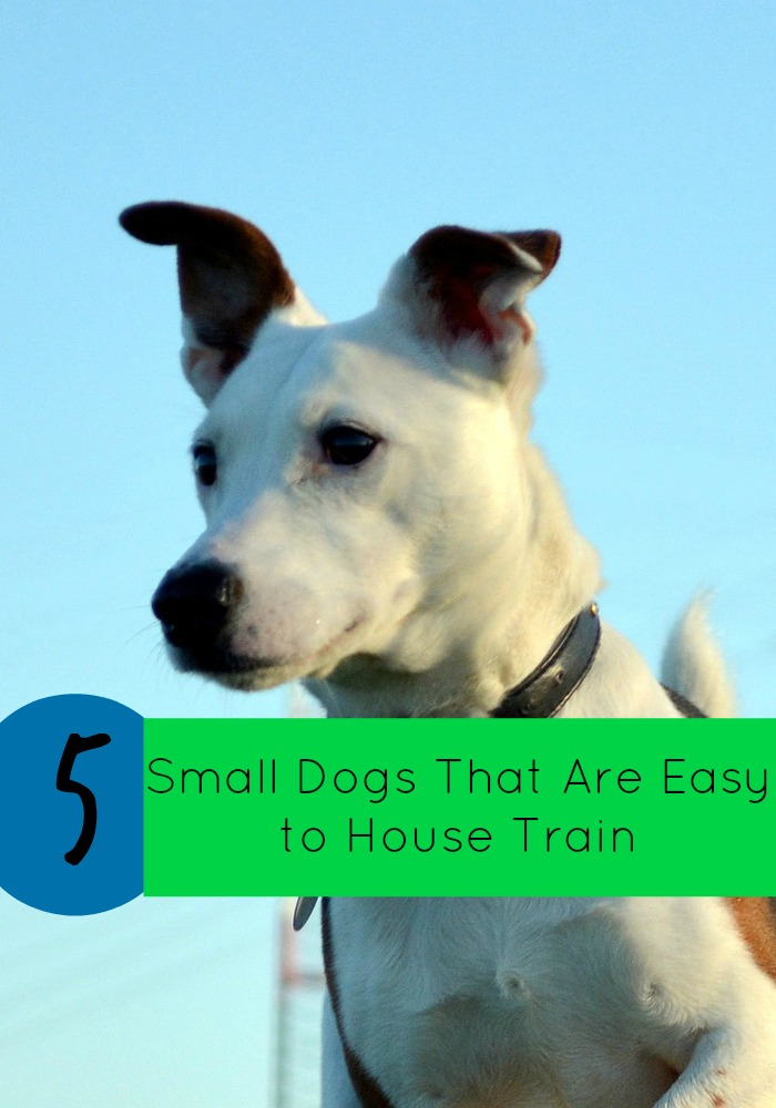 5 Small Dogs That Are Easy to House Train