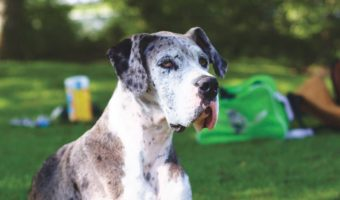 The great Daneis a dog that's as big on heart as it is just plain big. Check out everything you need to know about this gentle giant!