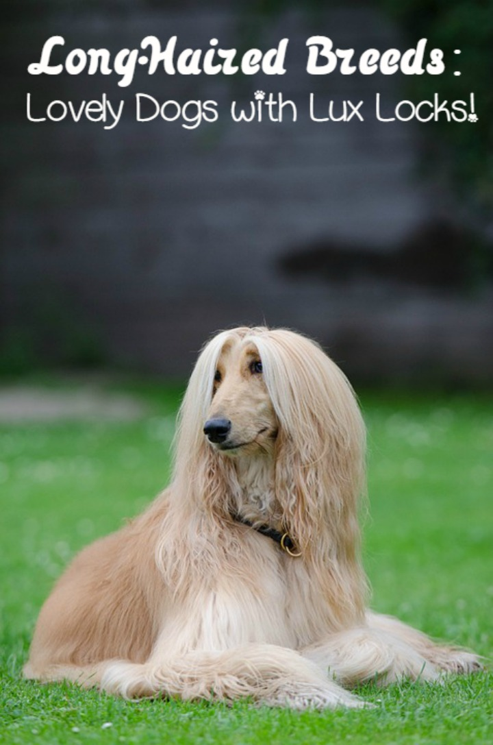 Long Haired Dog Breeds: Lovely Dogs with Lux Locks