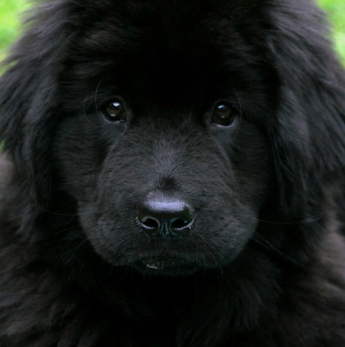 The Newfie is a massive dog built for work and love. The Newfie is extremely affectionate, intelligent, and needs a lot of exercise.