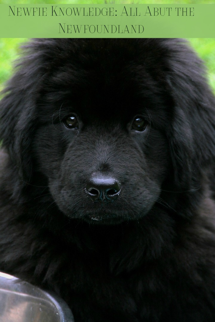 Newfie Knowledge – All Kinds of Info about Newfoundlands