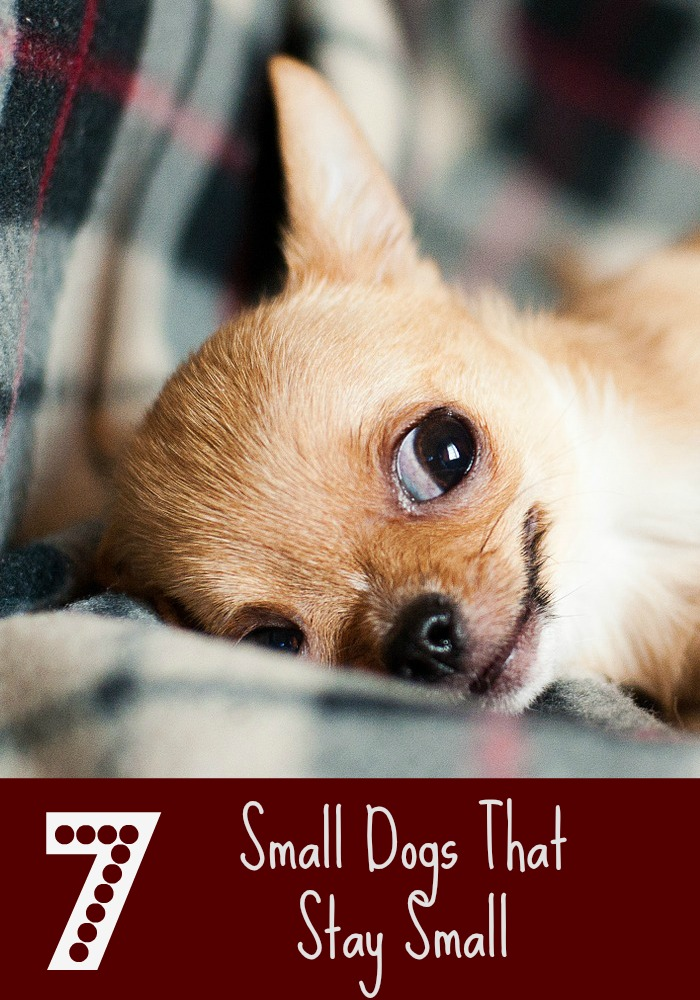 7 Small Dogs That Stay Small