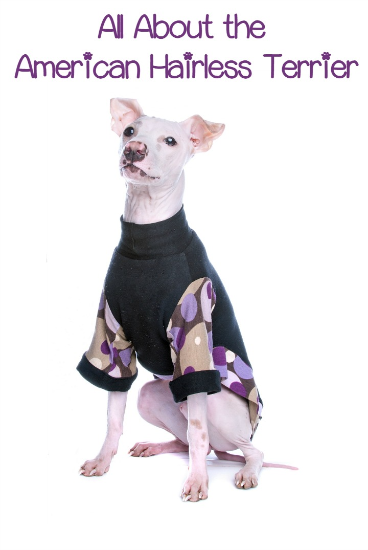 Everything You Need to Know About the American Hairless Terrier