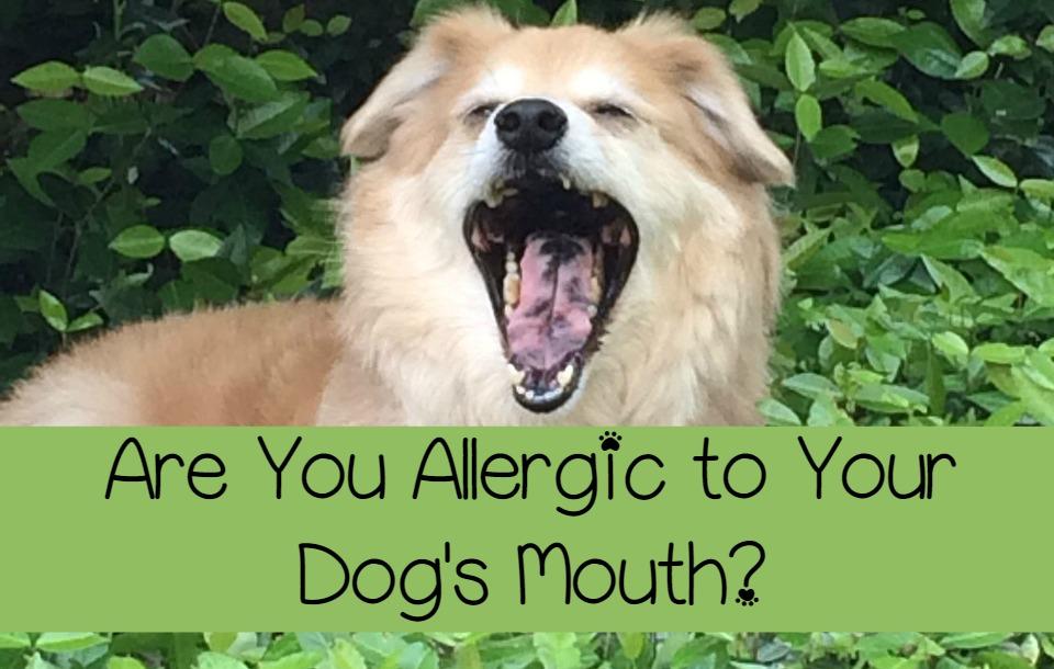 dog saliva - a prime allergen offender