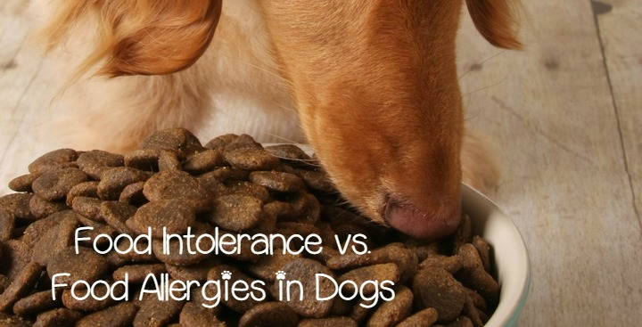 Food Allergy Vs Food Intolerance In Dogs