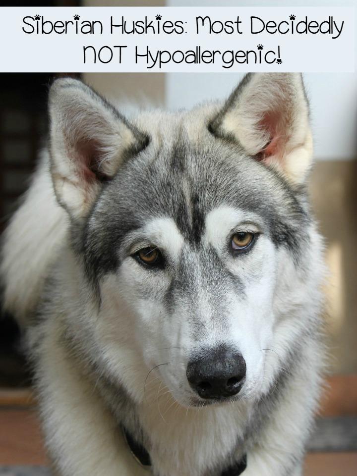 Siberian Huskies Fur Factories Far From Hypoallergenic Dogvills