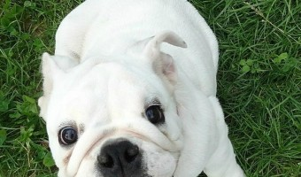 No bulldog breeds are hypoallergenic. They shed short pointy hair which sticks to everything, and they drool. Bulldog breeds are great dogs but allergenic.