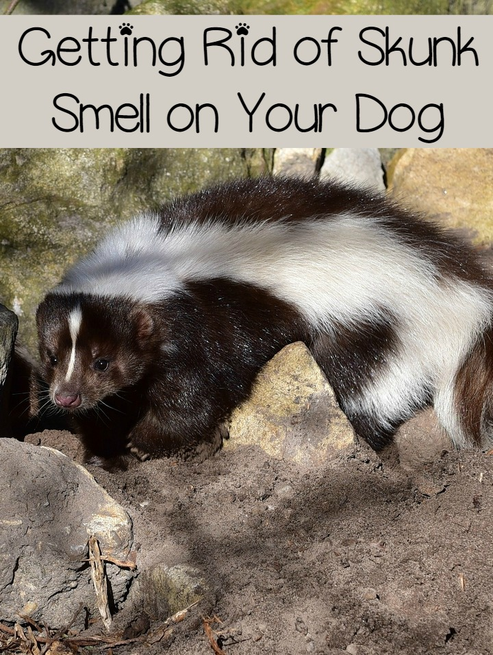 How Do You Get Skunk Smell Out Of A Dog