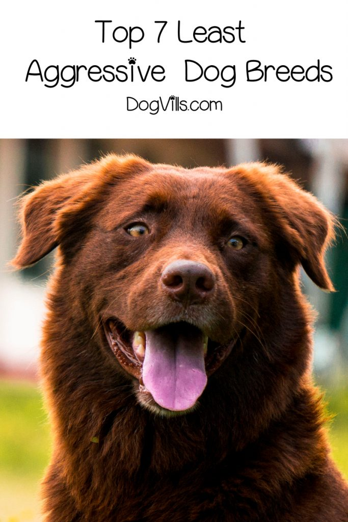 Looking for the least aggressive dog breeds? While any dog can fit this list with good training, check out the most overall relaxed breeds!