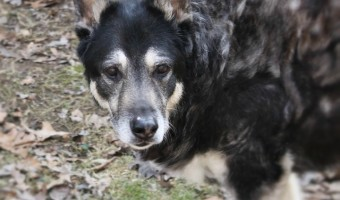 Dealing with a UTI in dogs is always a challenge, but in senior dogs it's especially difficult. Learn what to expect and how to get both of you through it.