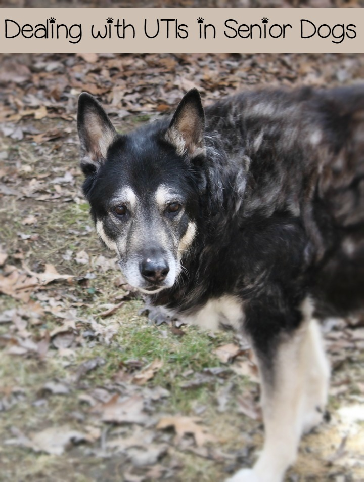 What to Expect when Dealing with a UTI in a Senior Dog