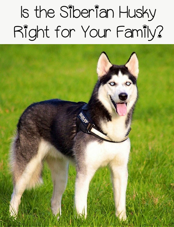 Siberian Huskies – Does the Breed Fit Your Family