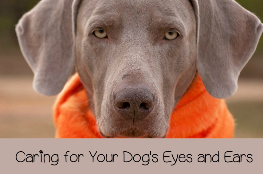 Caring For Your Dog S Eyes And Ears Properly