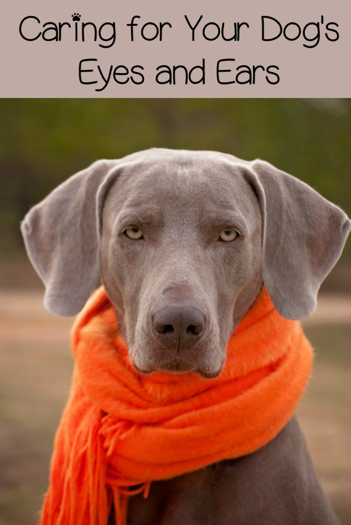 Dog Care Hacks for Protecting Fido's Eyes and Ears