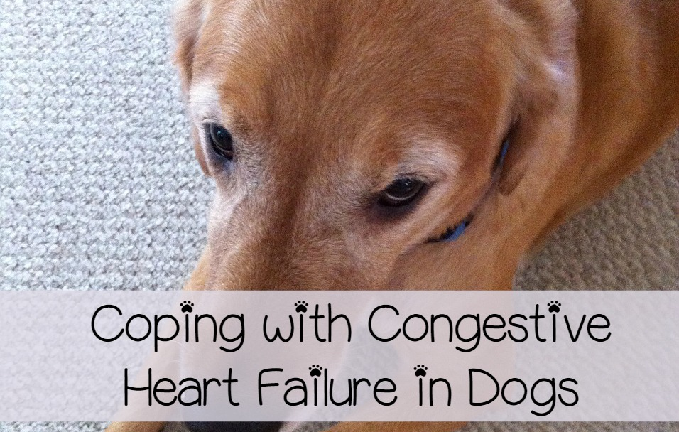 Congestive Heart Failure in Dogs: 10 Things You Should Do