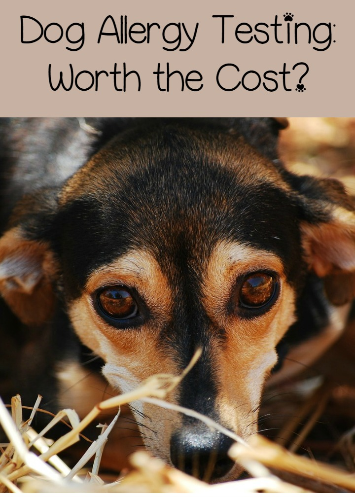 Dog Allergy Testing – Expensive but Worth It