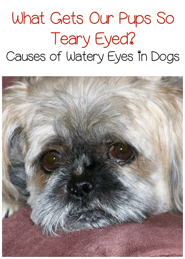 Why Do Dogs Get Watery Eyes
