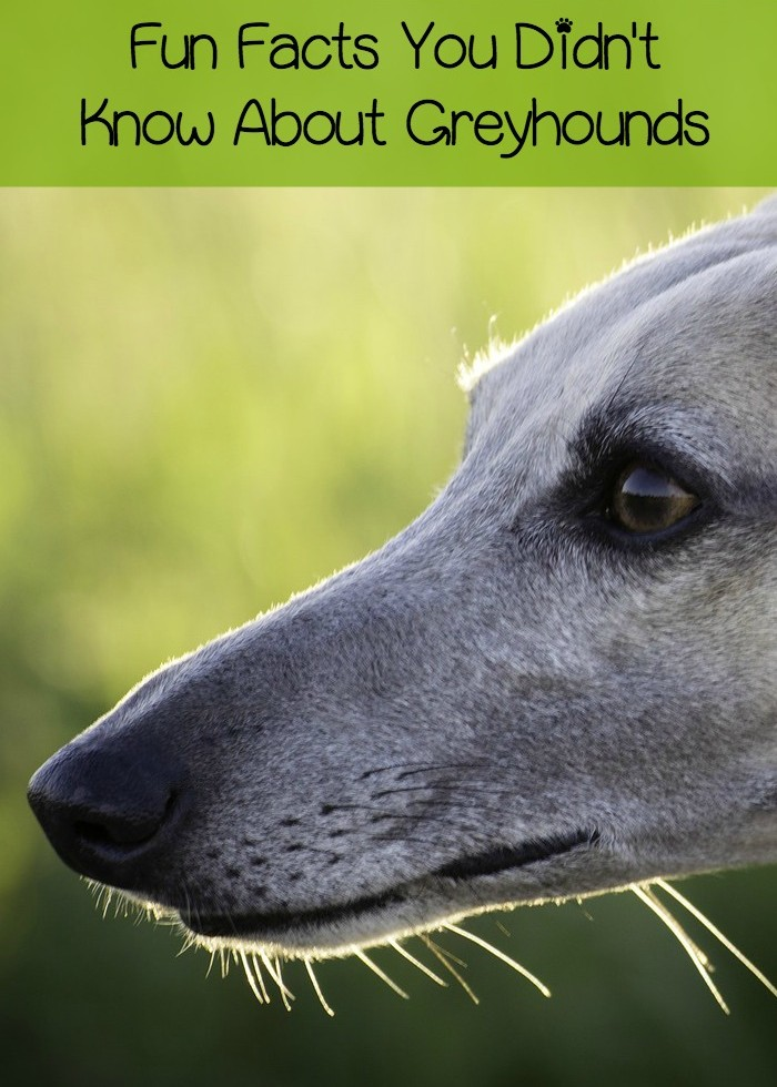 5 Fun & Surprising Facts about Greyhound Dogs