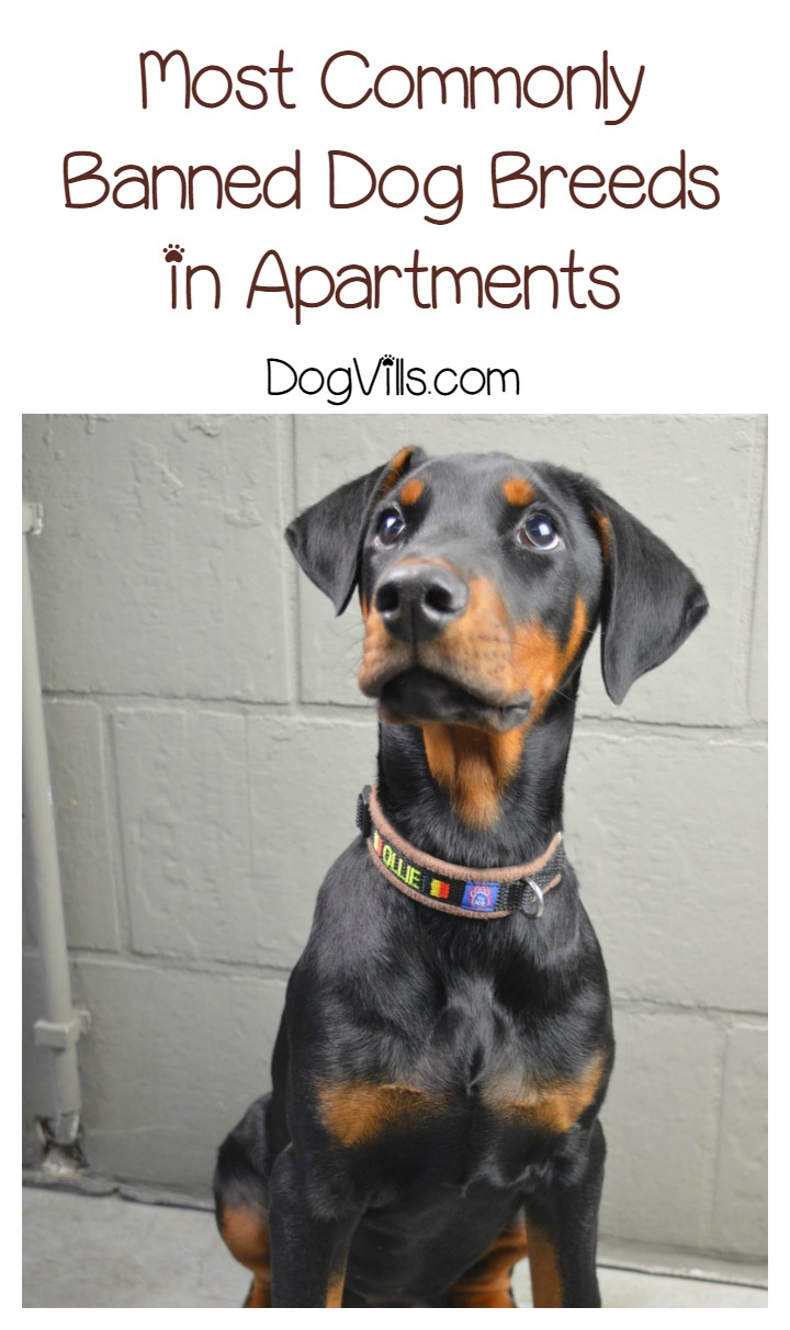 Most Commonly Banned Dog Breeds in Apartments