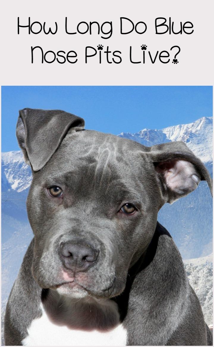 Blue Nose Pitbull Lifespan: Longer Than You Might Think