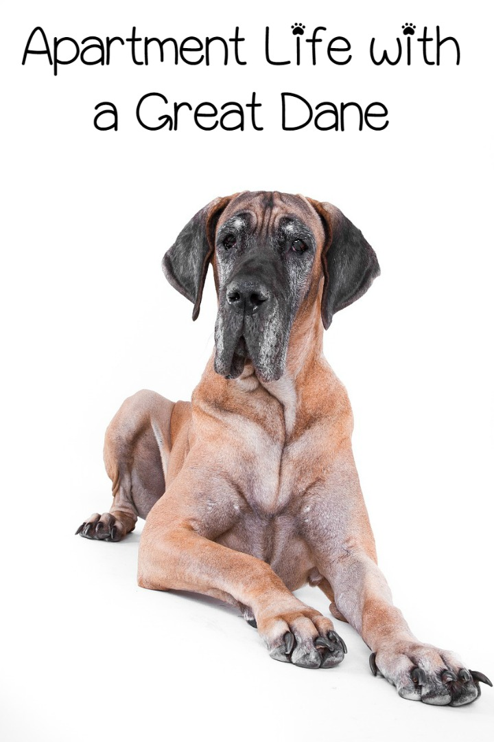 Apartment Living with a Great Dane – Easy Peasy