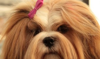Small breed dogs can be just as aggressive as large breed ones. Here's a list of some of the most aggressive small breed dogs out there.