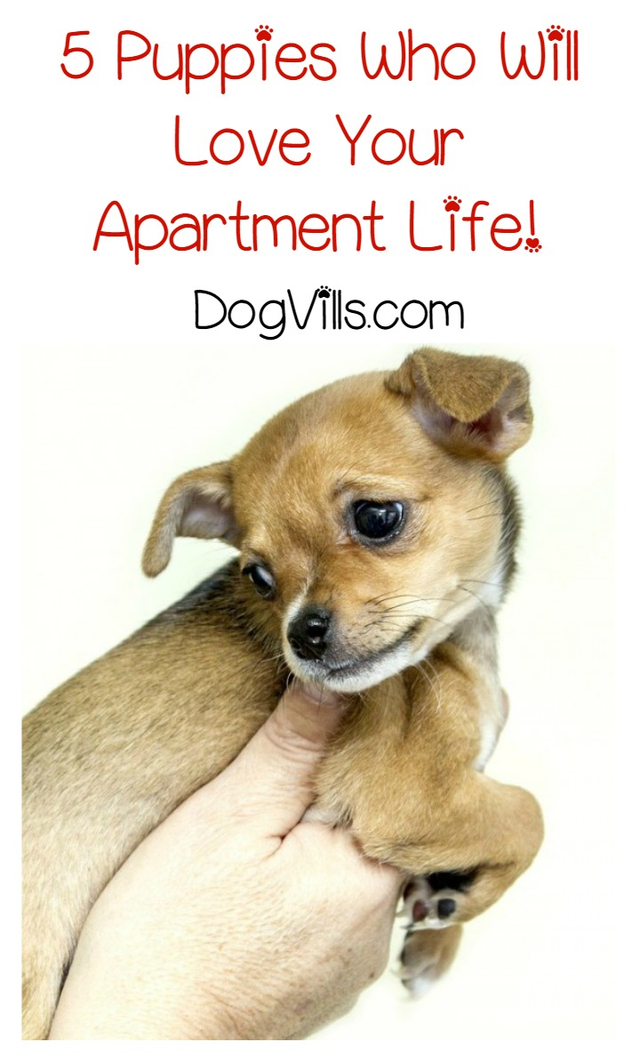 5 Puppies Who Really Don't Mind Apartment Life