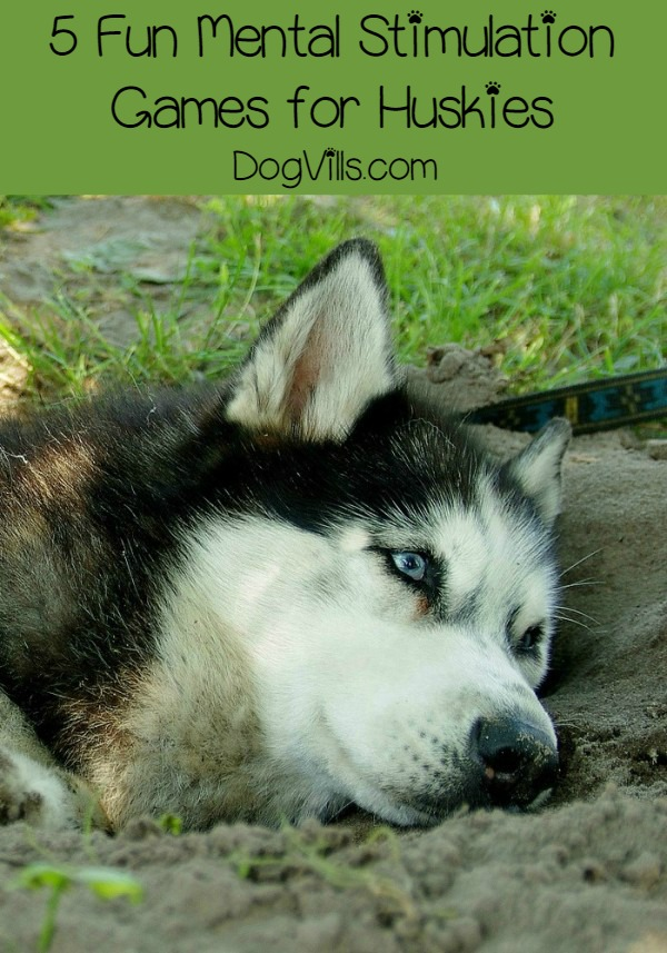 If you have been on the hunt for five fun mental stimulation games for your husky, you have landed in the right place! Keeping your husky on his toes and mentally stimulated is fun! Not only does he need walks and runs to be physically tired, but he needs to be mentally stimulated as well.