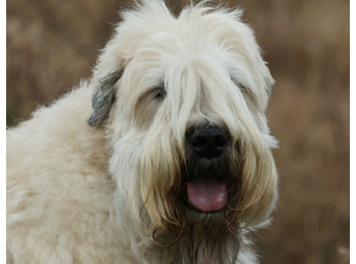 Soft Coated Wheaten Terriers make excellent family dogs. These dogs are loyal, intelligent, and get along well with children. But is he a hypoallergenic dog breed? Find out!
