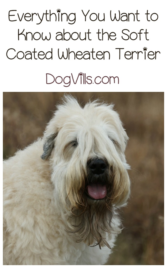 Is the Soft Coated Wheaten Terrier a Hypoallergenic Dog Breed?