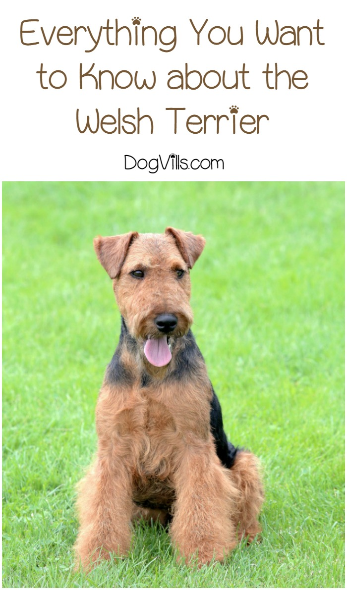 Welsh Terriers – Everything You Need to Know About the Original Blockhead