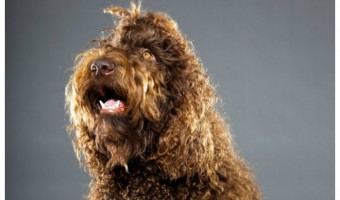 The Barbet dog is a love bug of the highest order. These bouncy, curly, family-centric dogs bond absolutely with their families, and they love to be around them at all times. If you have allergies, though, you might wonder, is he a hypoallergenic dog breed? Read on to find out!