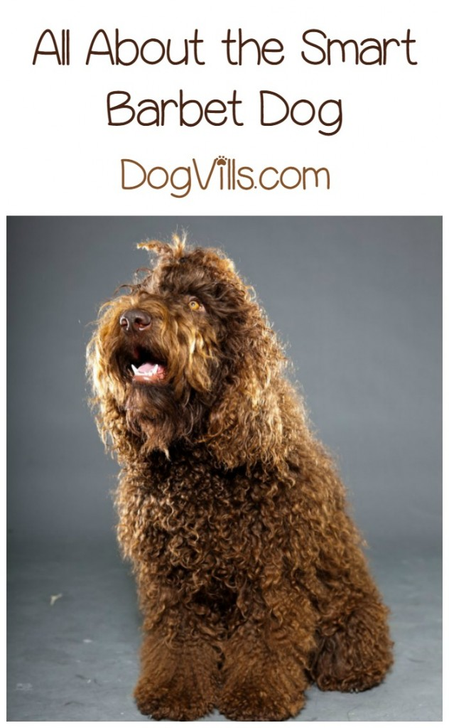 Is The Barbet A Hypoallergenic Dog Breed