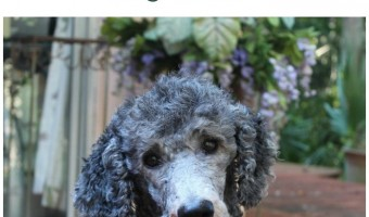 11 Hypoallergenic Dog Breeds That Make Fantastic Service Dogs