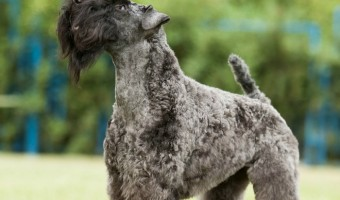 makes an excellent pet for equally active families. If properly trained, they make excellent dogs in almost any avenue. Good news for people with allergies, the Kerry Blue Terrier is also a hypoallergenic dog breed.