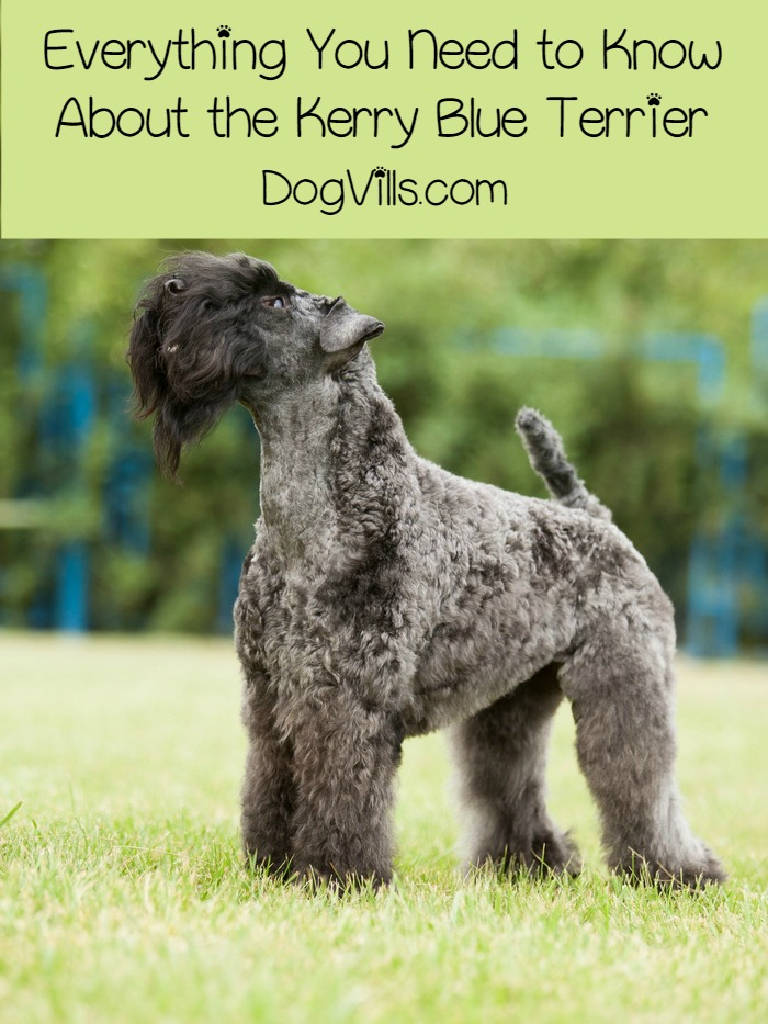 Kerry Blue Terrier – All About the Amazing Breed