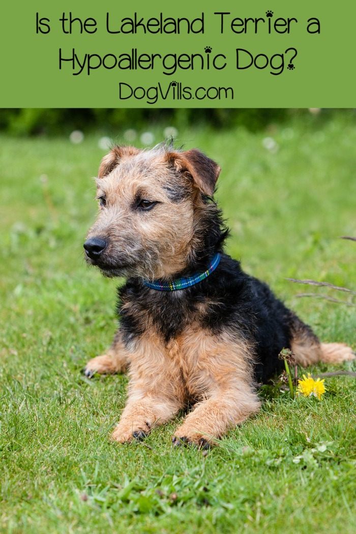 Lakeland Terrier: Is it a Hypoallergenic Dog?