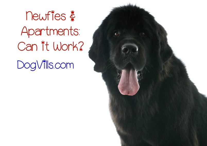 Is The Newfoundland Dog Breed A Good Fit For Apartment Life