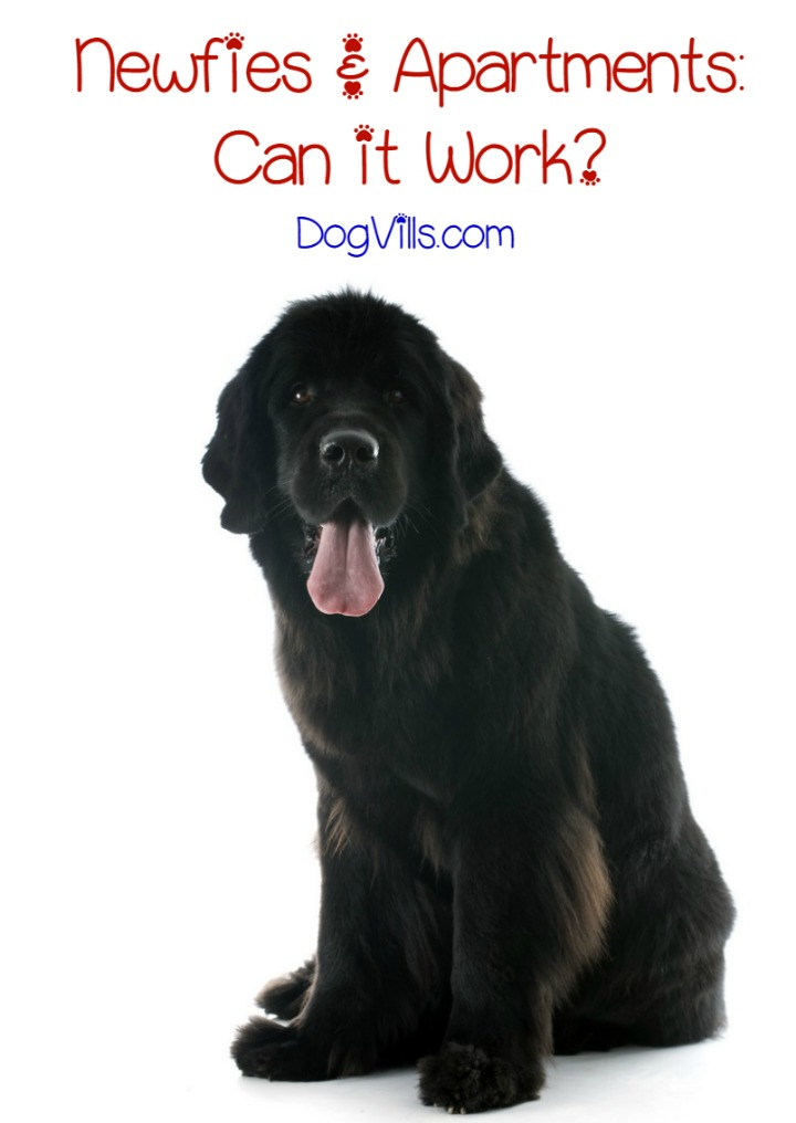 Are Newfoundland Dogs a Good Fit for Apartment Life?